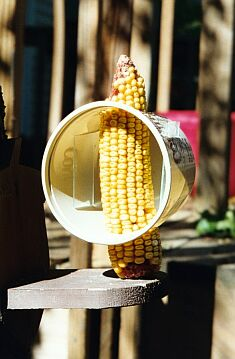 Margarine tub surrounds the dried corn on the cob